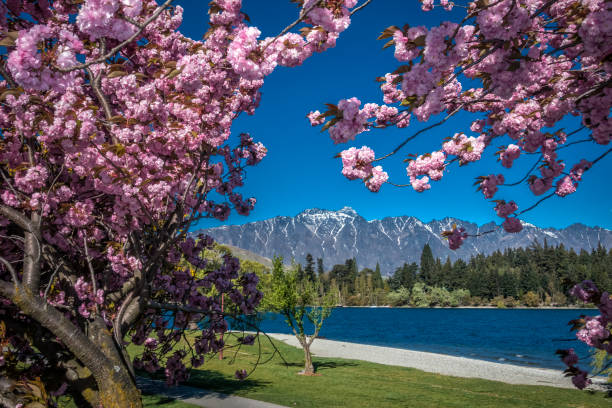 queenstown blossoms - nzgmw2017 stock pictures, royalty-free photos & images