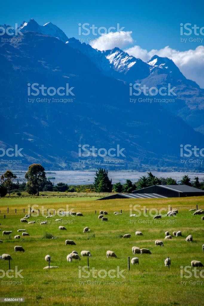 Queenstown sheep farm stock photo