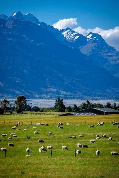 queenstown sheep farm - nzgmw2017 stock pictures, royalty-free photos & images