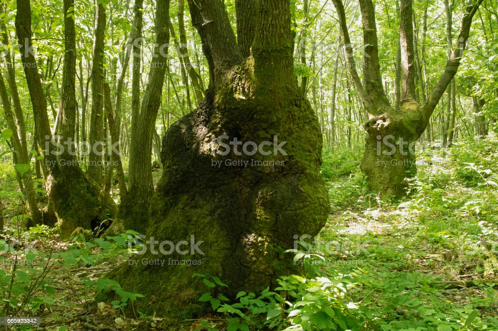 Quercus foto stock royalty-free