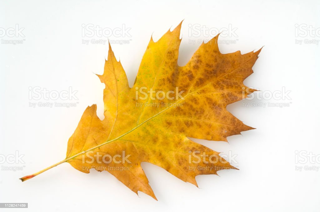 Royalty Free Laubbaum Pictures Images And Stock Photos Istock
