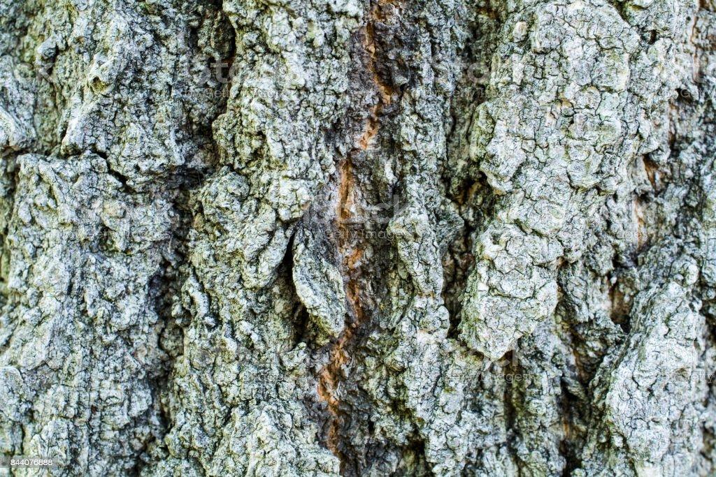 Quercus serrata stock photo