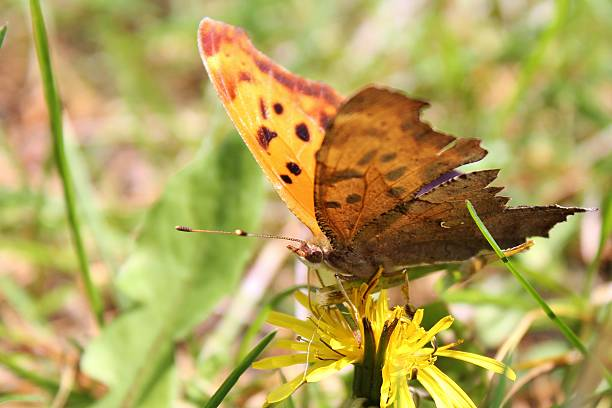 Question Mark butterfly on dandelion horizontal stock photo