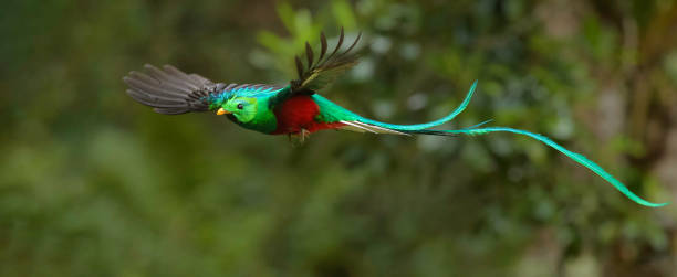 Quetzal in flight stock photo