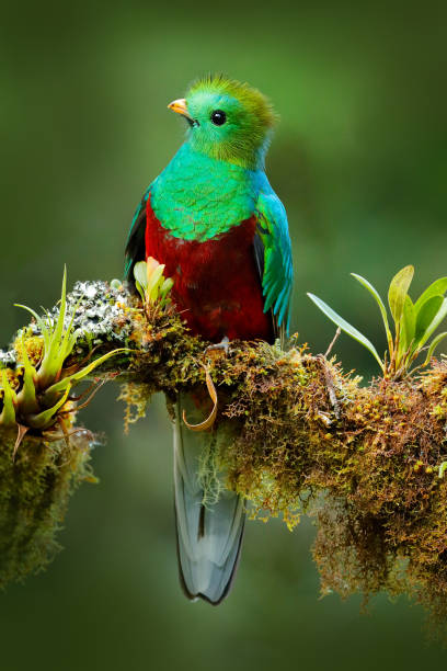 Quetzal, Pharomachrus mocinno, from  nature Costa Rica with green forest. Magnificent sacred mistic green and red bird. Resplendent Quetzal in jungle habitat. Widlife scene from Costa Rica. stock photo