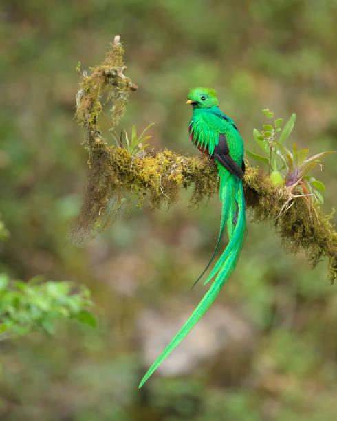quetzal stock photo