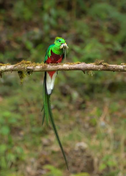 Quetzal resplandeciente con lagartija stock photo