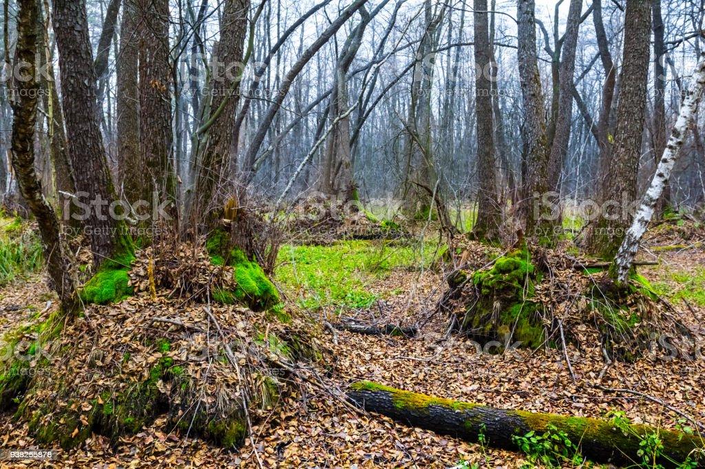 quiet misty pale autumn forest scene stock photo