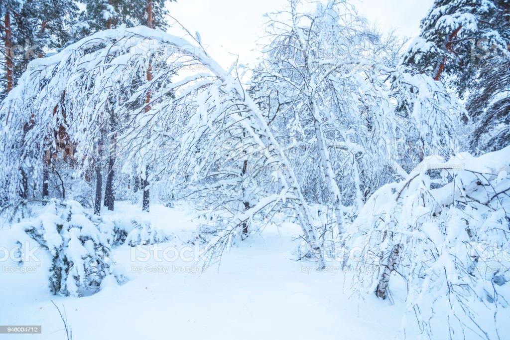 quiet winter forest in a snow stock photo