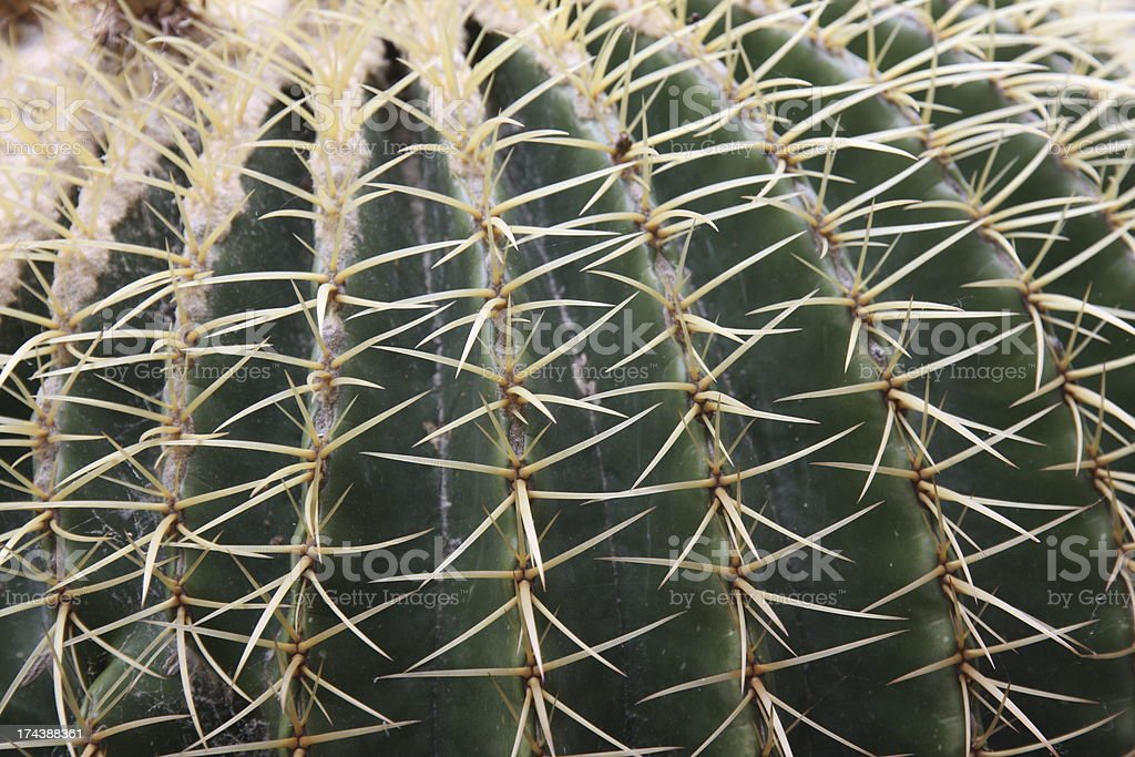 Quills and prickly cactus spines of a dangerous succulent plant stock photo