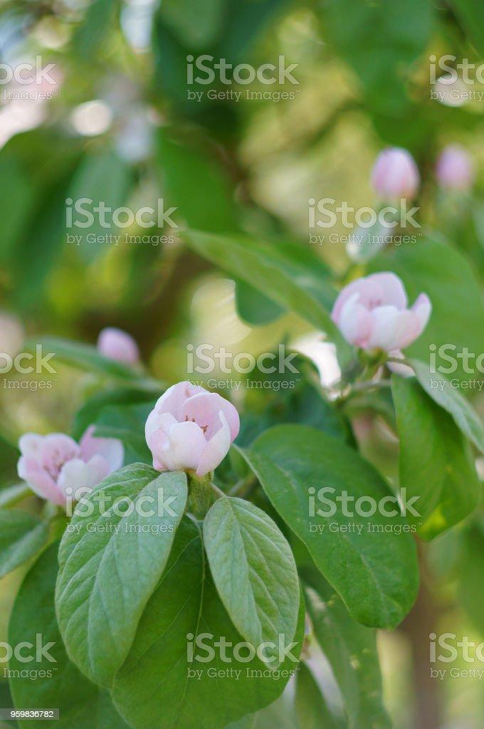 fleur de coing au printemps - Photo