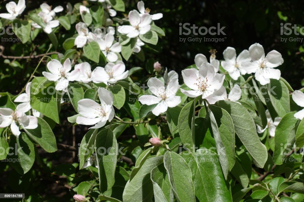 Quince branches with lots of big white flowers stock photo