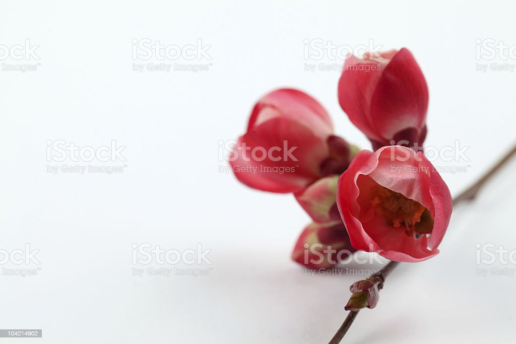 Quince buds royalty-free stock photo