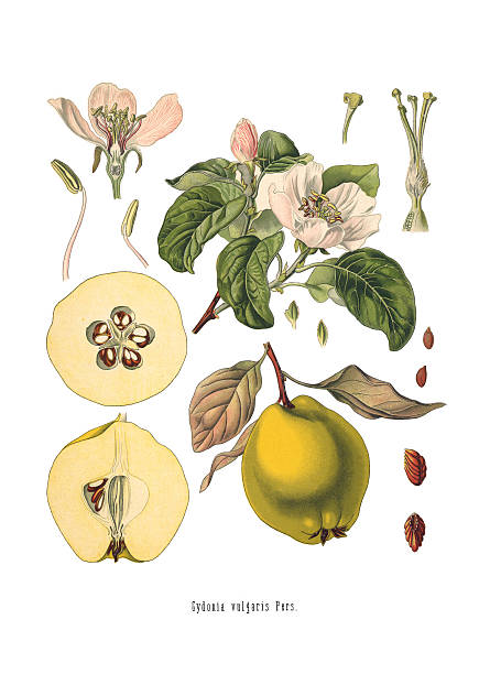 Quince Cydonia oblonga Old Antique bothanical print stock photo