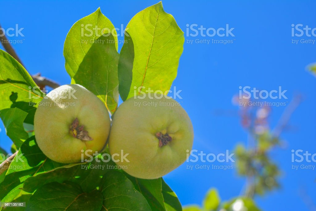Quince fruit with leaves stock photo