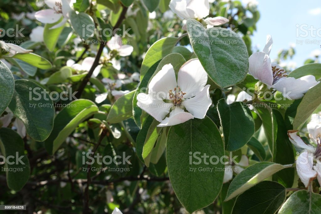 Quince in full bloom in spring time stock photo