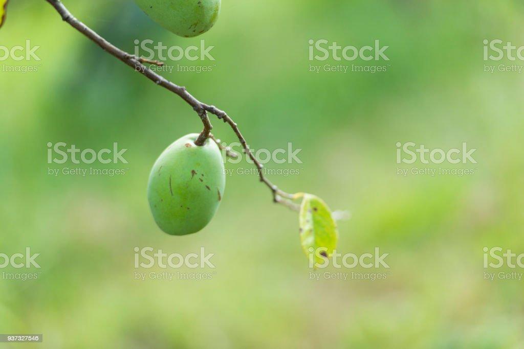 Quince (Cydonia oblonga) stock photo