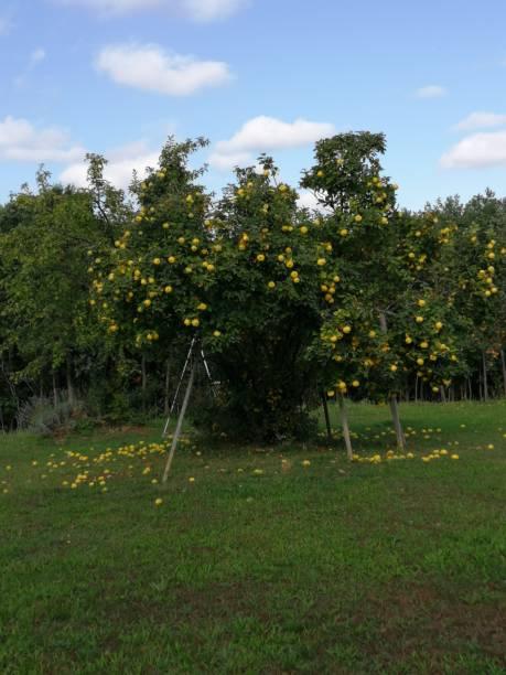 QUINCE-Tree stock photo