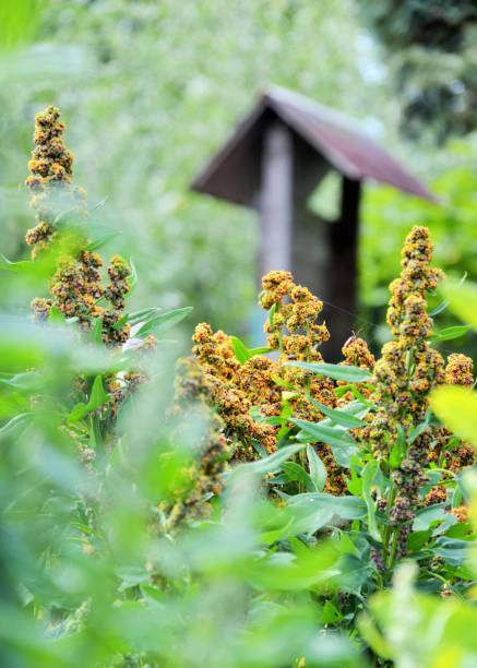 quinoa plants in an allotment Yellow quinoa in a vegetable garden werken stock pictures, royalty-free photos & images