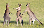 Is the one in the middle a referee introducing two boxers before a fight? An unusual and funny image of three adult male eastern grey kangaroos facing off against each other.