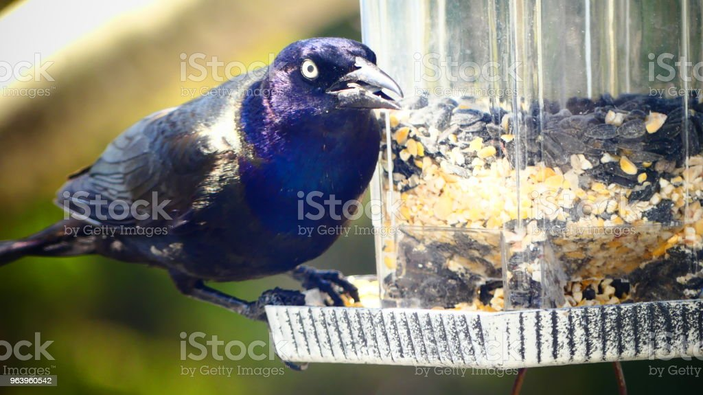 Quiscale bronzé sur une mangeoire à oiseaux - Royalty-free Animal Migration Stock Photo