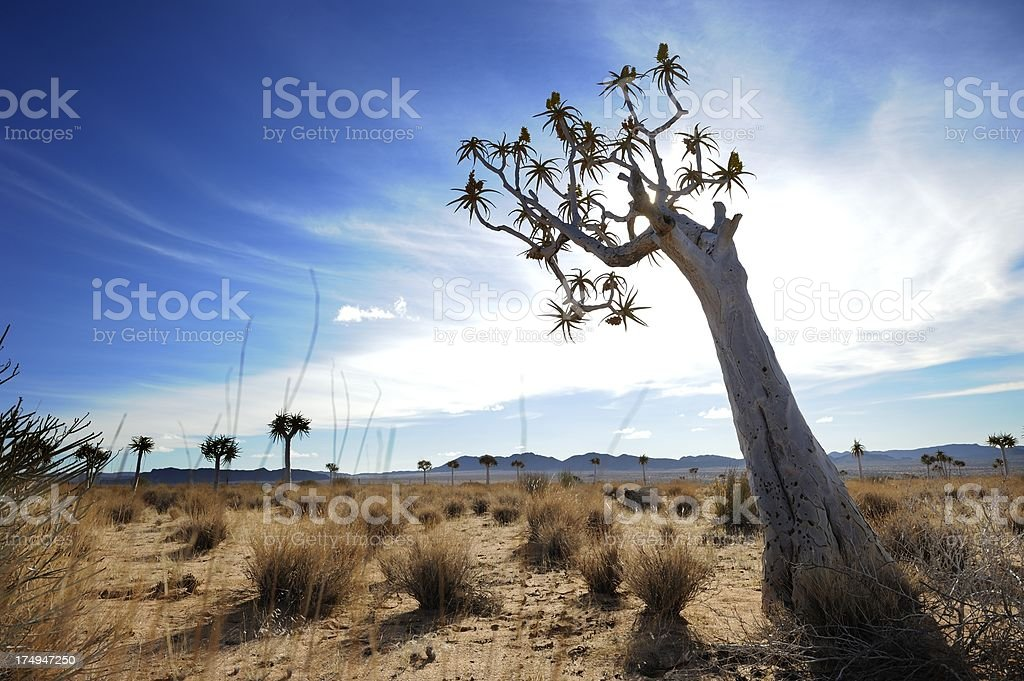 Quiver tree against gathering clouds on Namibian border stock photo
