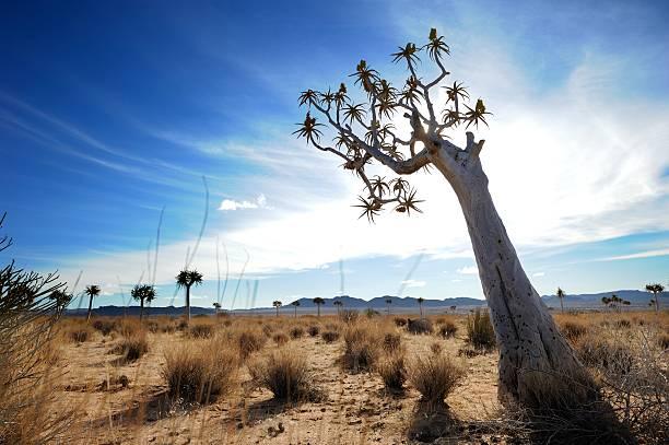 Köcherbaum gegen Veranstaltung Wolken auf Namibische Grenze – Foto