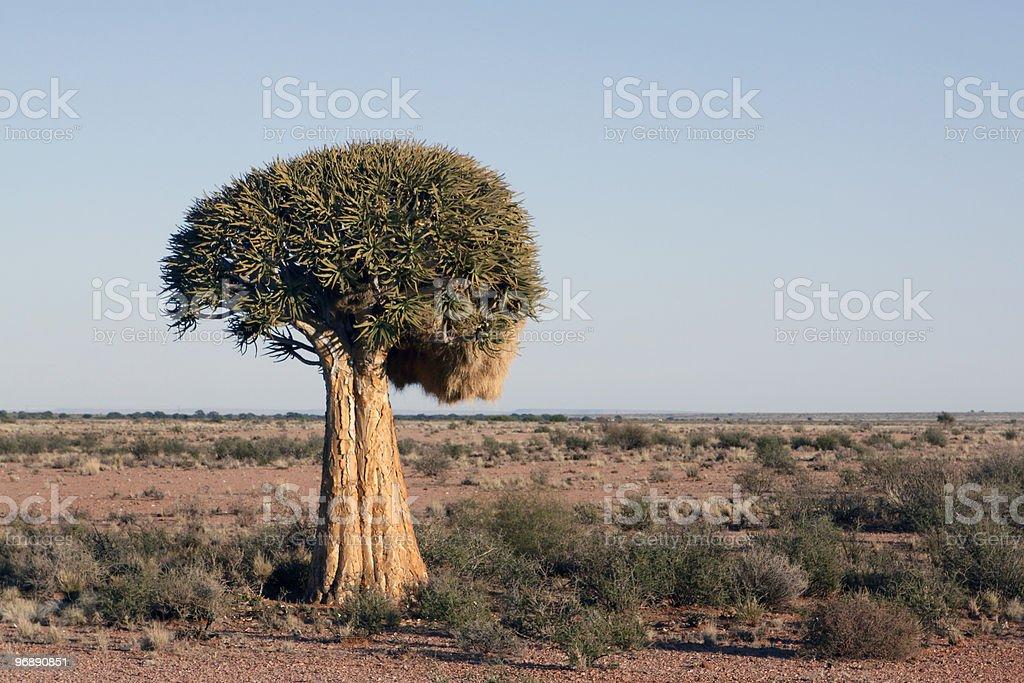 quiver tree Aloe dichotoma royalty-free stock photo