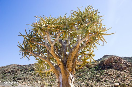 The Branches of a Quiver Tree, Aloidendron dichotomum, on a clear sunny day in the Goegap Nature Reserve, just outside the town of Springbok, South Africa