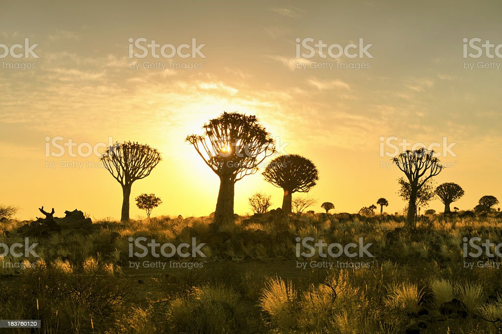 Quiver tree forest at sunset near Keetmanshoop,Namibia royalty-free stock photo