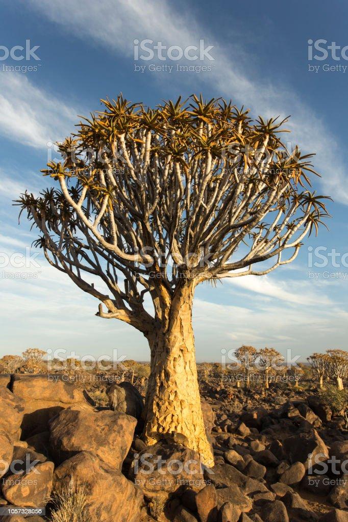 Bosque de aljaba en Namibia - foto de stock