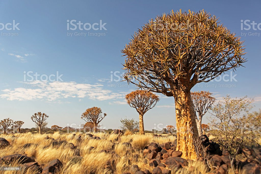 Quiver Tree Forest Landscape Namibia stock photo