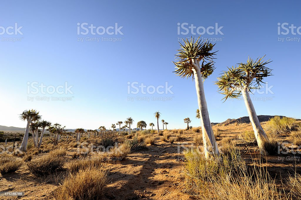 Quiver tree forest landscape stock photo
