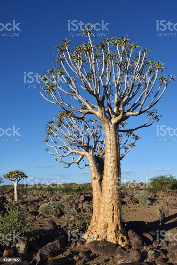Bosque de aljaba Namibia - foto de stock