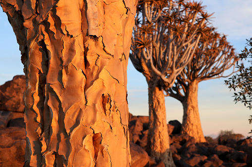 Quiver Tree Forest near Keetmanshoop Aloe dichotoma tree trunk - Namibia