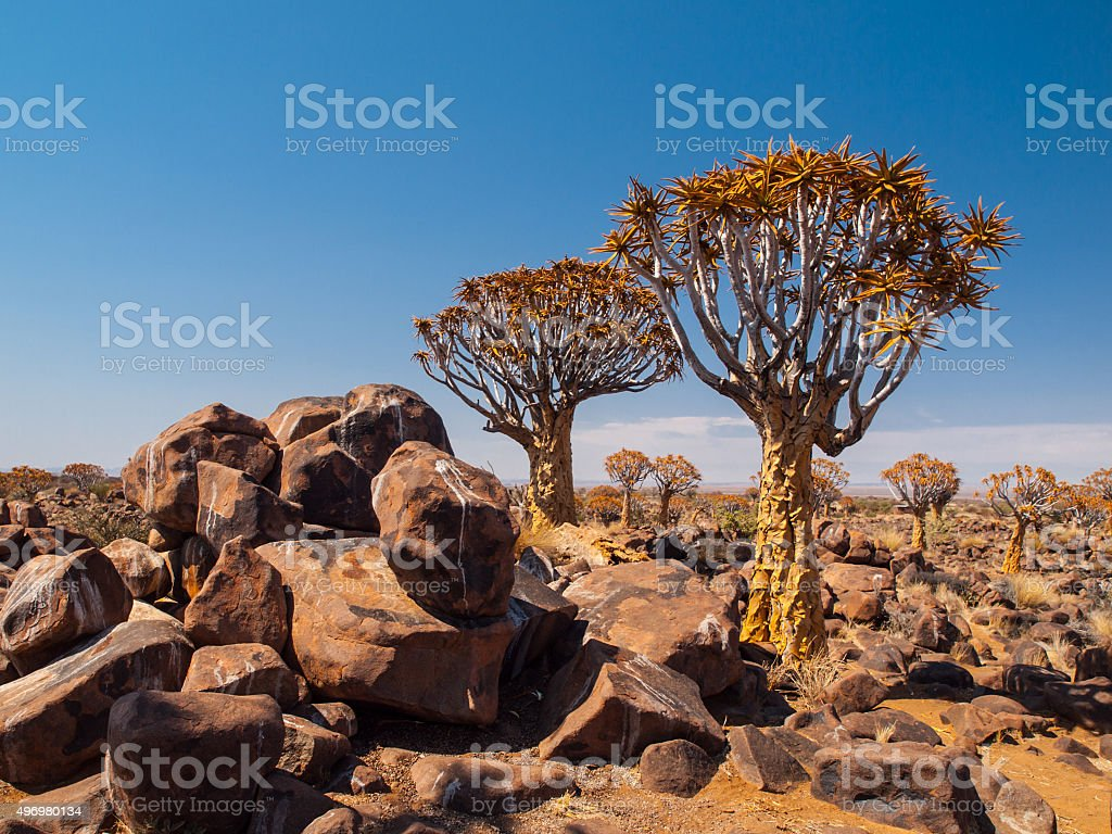 Quiver tree forest stock photo