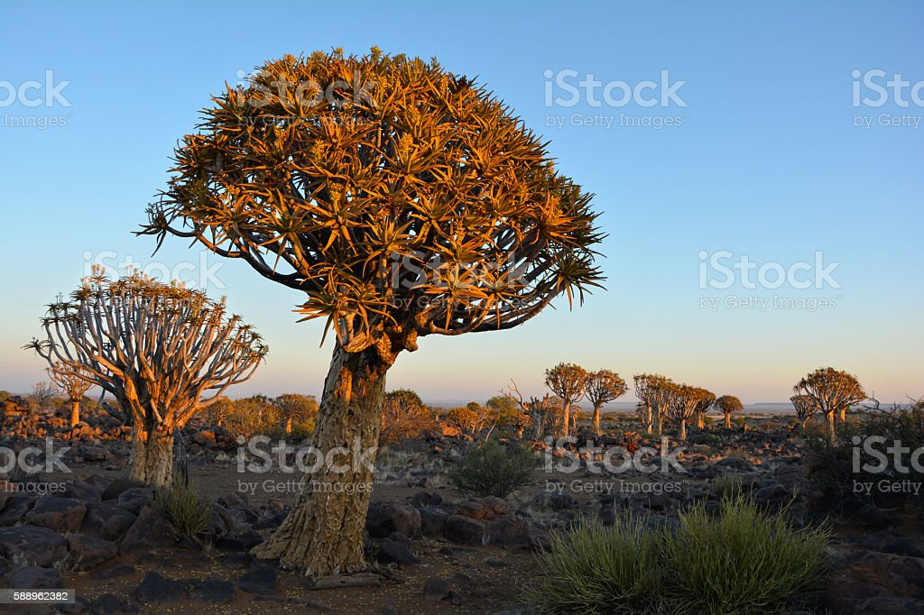 Quiver Tree Forest Sunset in Namibia Africa stock photo