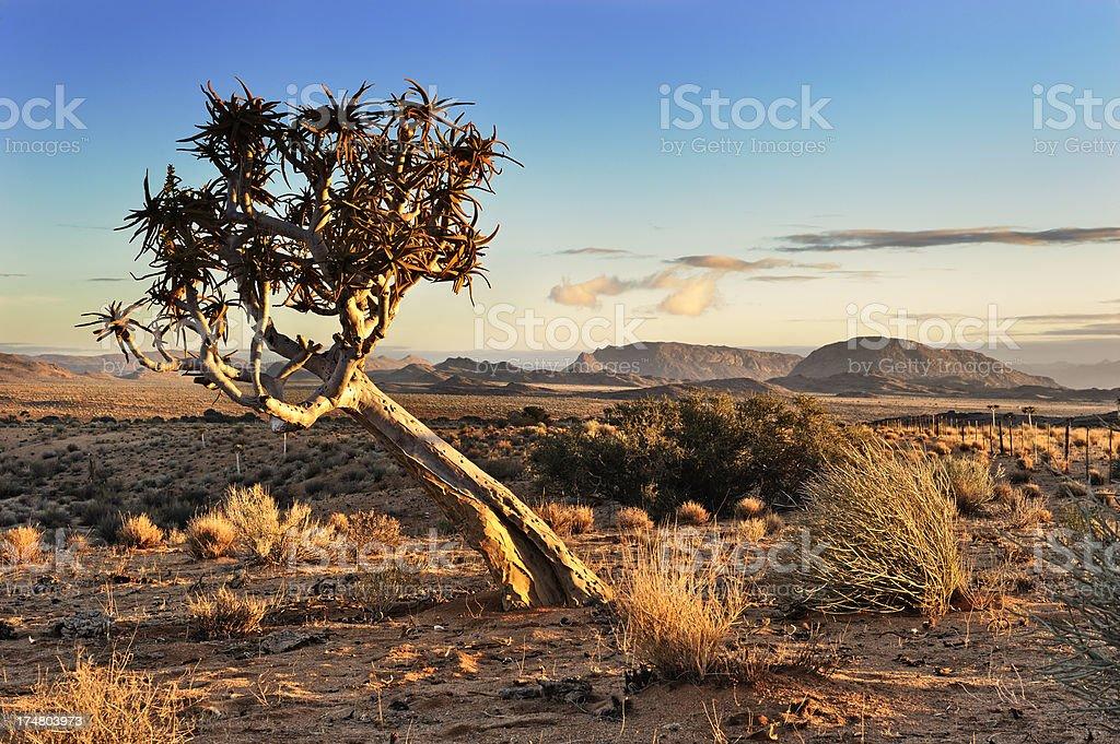 Quiver tree in dusk desert light stock photo