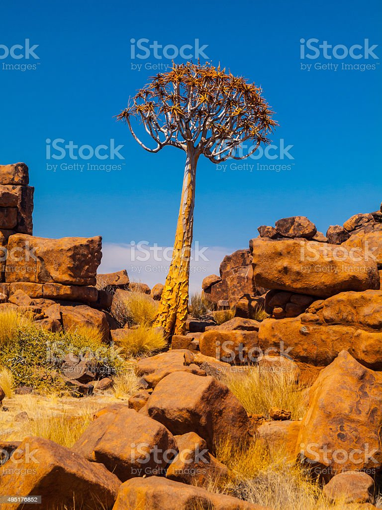 Quiver tree in namibian Giant's Playground stock photo