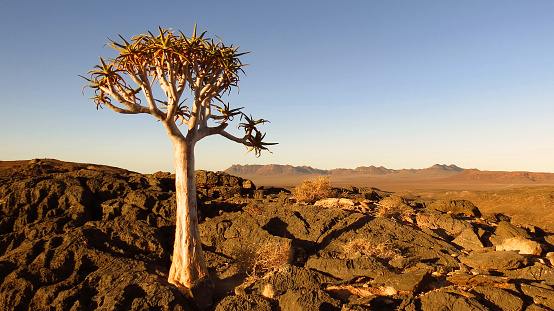 Quiver tree in the Richtersveld, South Africa
