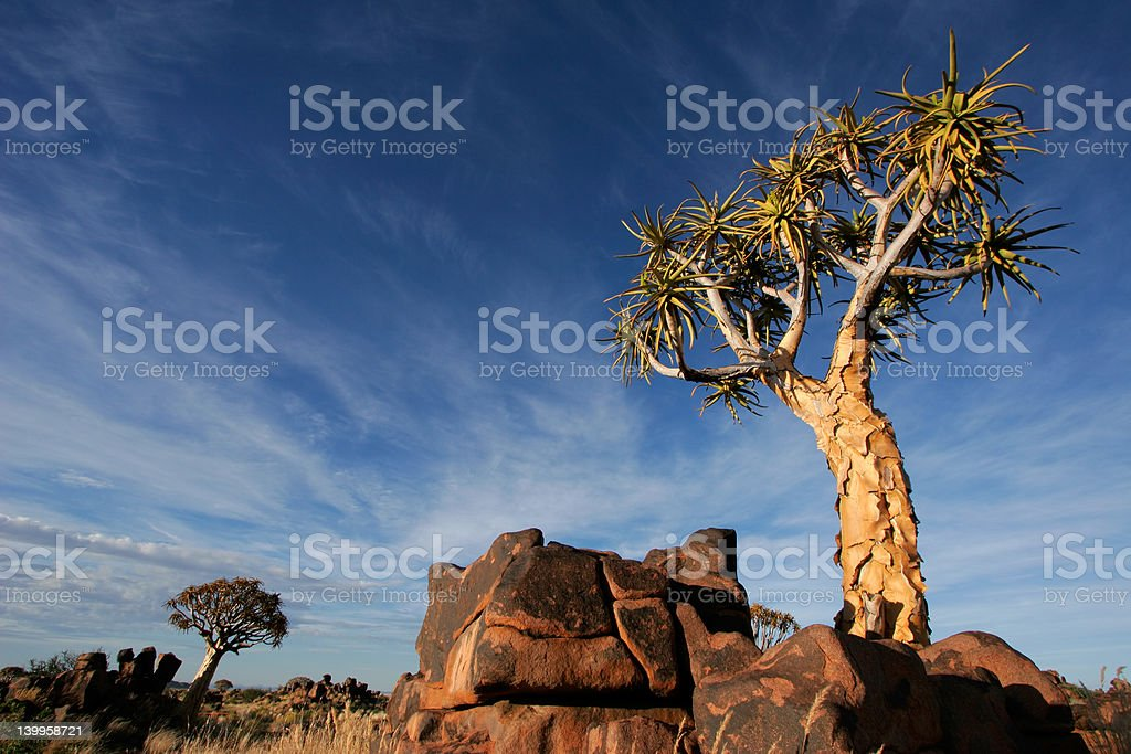 Quiver tree landscape royalty-free stock photo