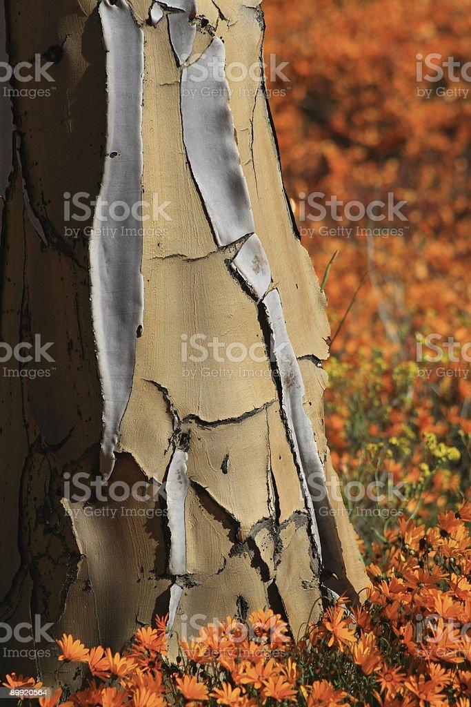 Quiver tree royalty-free stock photo