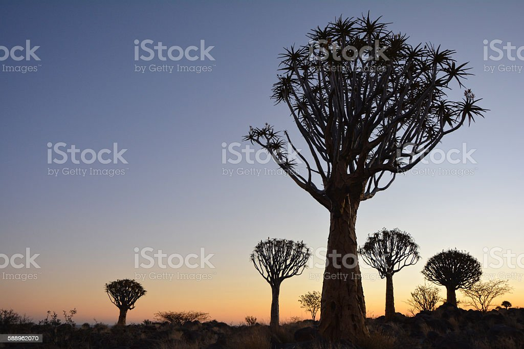 Quiver Tree Sunset in Namibia Africa stock photo