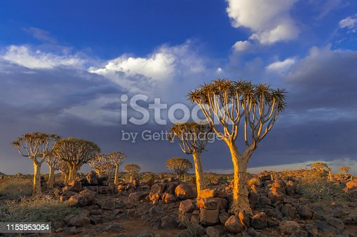 Quiver trees (Aloidendron dichotomum) in the quiver tree forest near Keetmanshoop, southern Namibia.