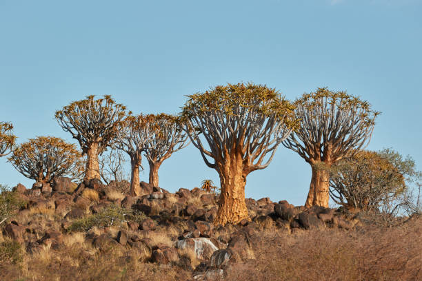 Quiver Trees (kokerboom) in Namibia stock photo