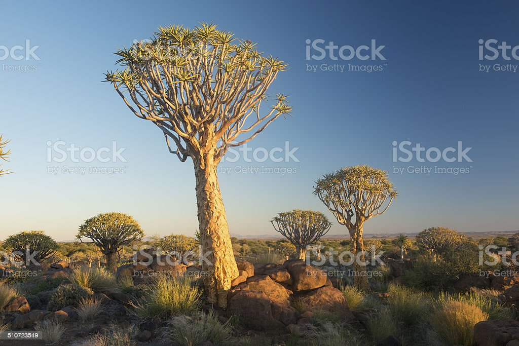 Quiver Trees, Namibia, Africa stock photo