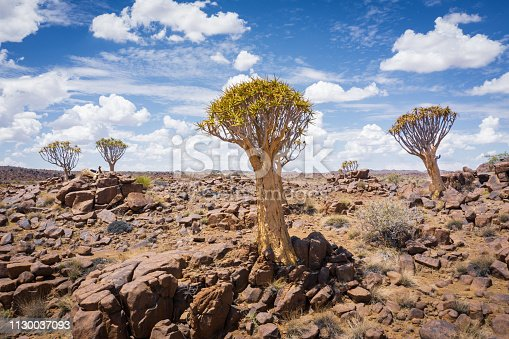 Quiver Trees under blue summer skyscape with cumulus clouds in the dry desert landscape of Keetmanshoop, Southern Namibia, Africa