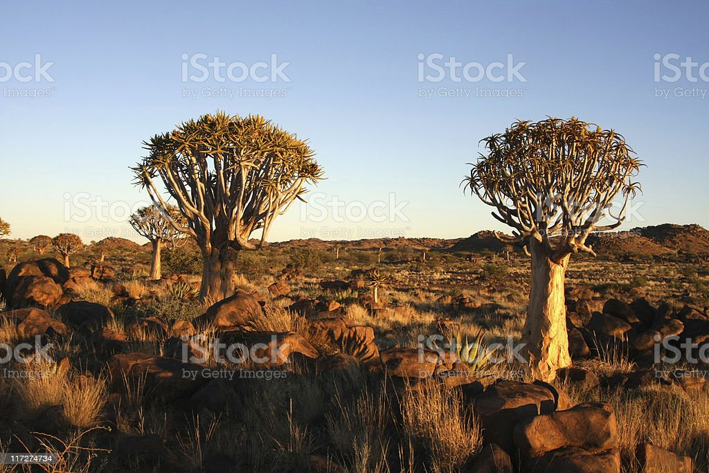 quiver trees stock photo