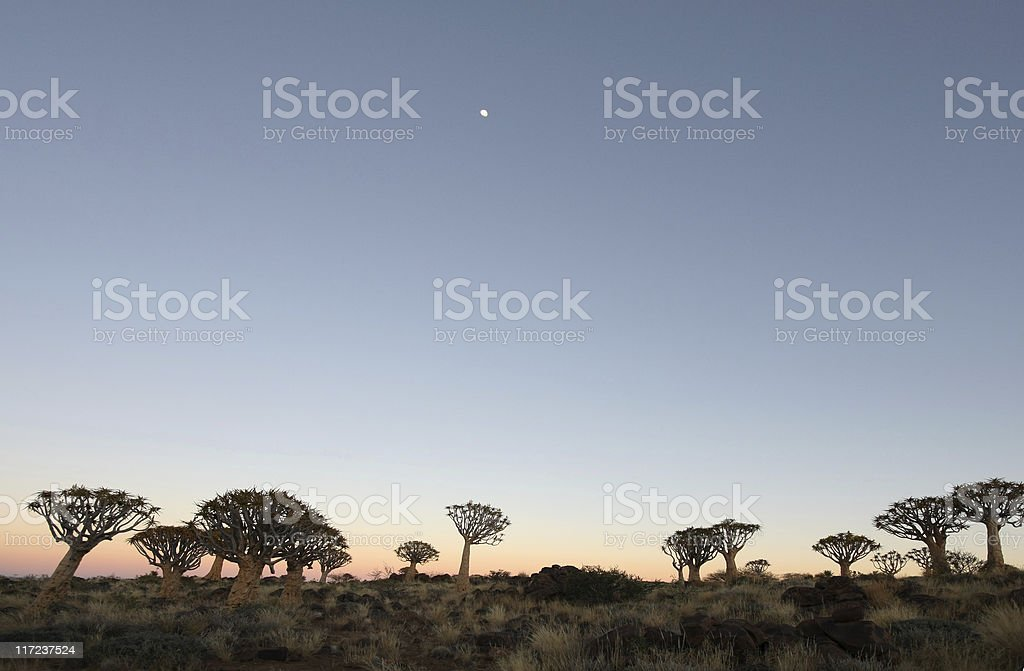 quivertree forest stock photo