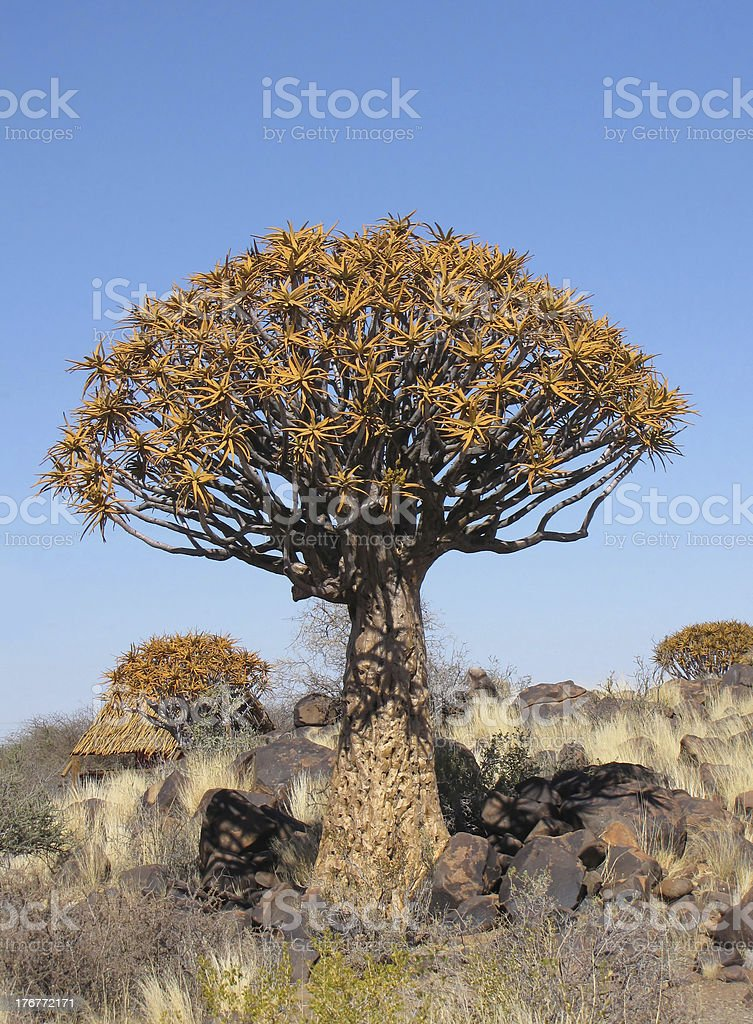 Quivertree royalty-free stock photo
